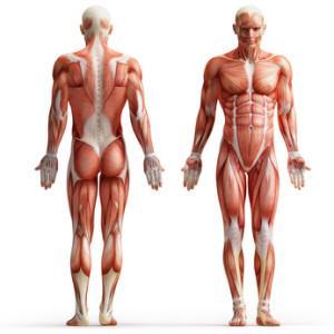 Muskulatur-300x300